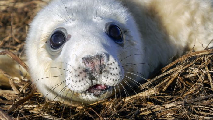 Seal Pup On Farne Island